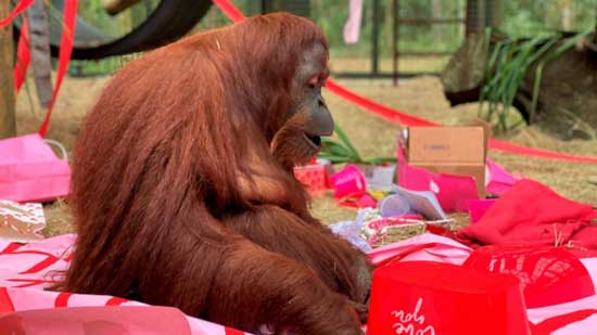 This Feb. 15, 2020 photo courtesy of the Center for Great Apes shows an orangutan named Sandra in Wauchula, Fla. Sandra, who was granted legal personhood by a judge in Argentina and later found a new home in Florida, celebrated her 34th birthday on Valentine's Day with a special new primate friend.