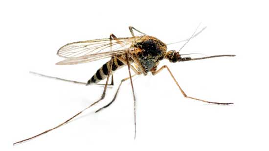 The Malaria-carrying Anopheles mosquito. File image
