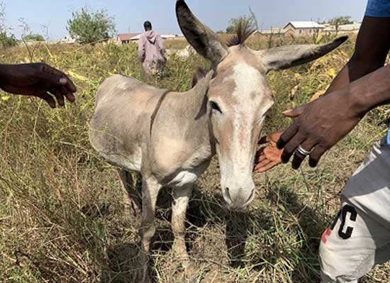 Power the donkey grazes in Walewale. His owner checks on him at least twice each day, fearing thieves that seek his lucrative hide. (Danielle Paquette/The Washington Post)
