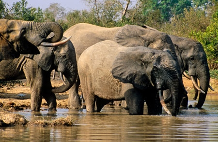 Elephants almost never get cancer: Why? - Dr. Raphael Nyarkotey Obu