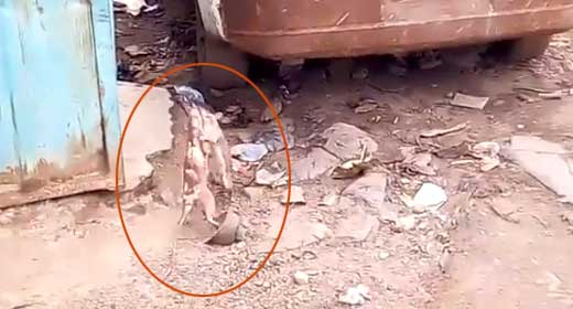 Video: Rats move fight out of bunker, battle it out in broad daylight